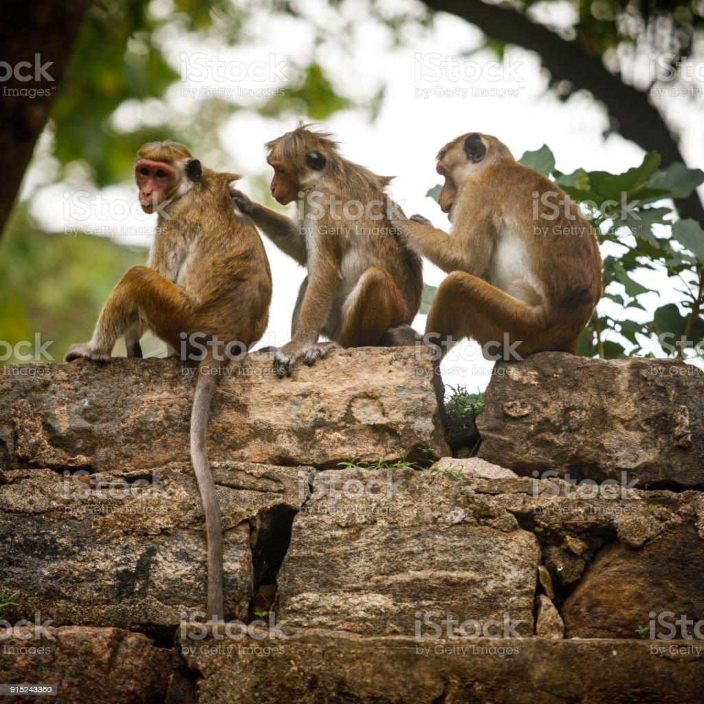 Toque macaque monkeys stock photo