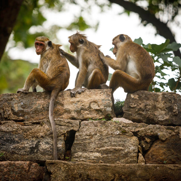 Macaques toque - Photo