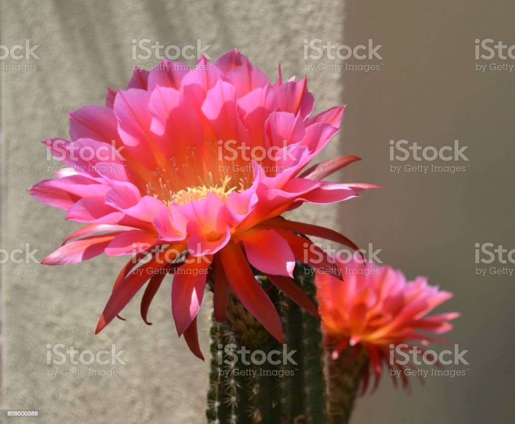 Torch Cactus Against the Wall stock photo
