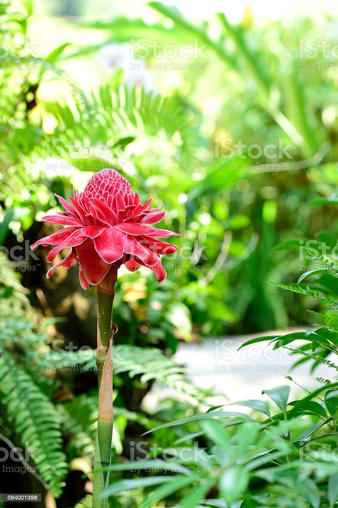 Torch ginger flower stock photo