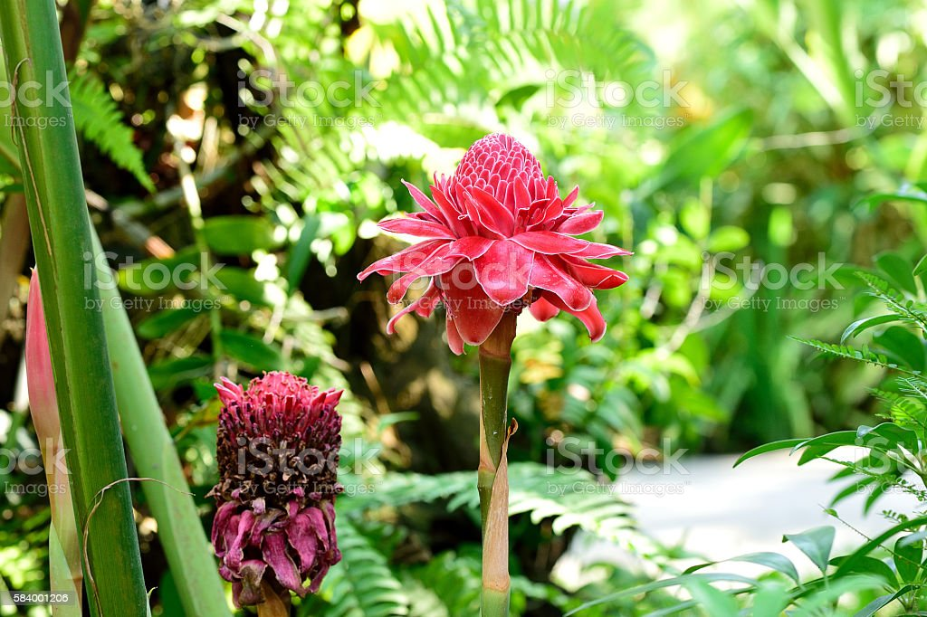 Torch ginger flowers stock photo