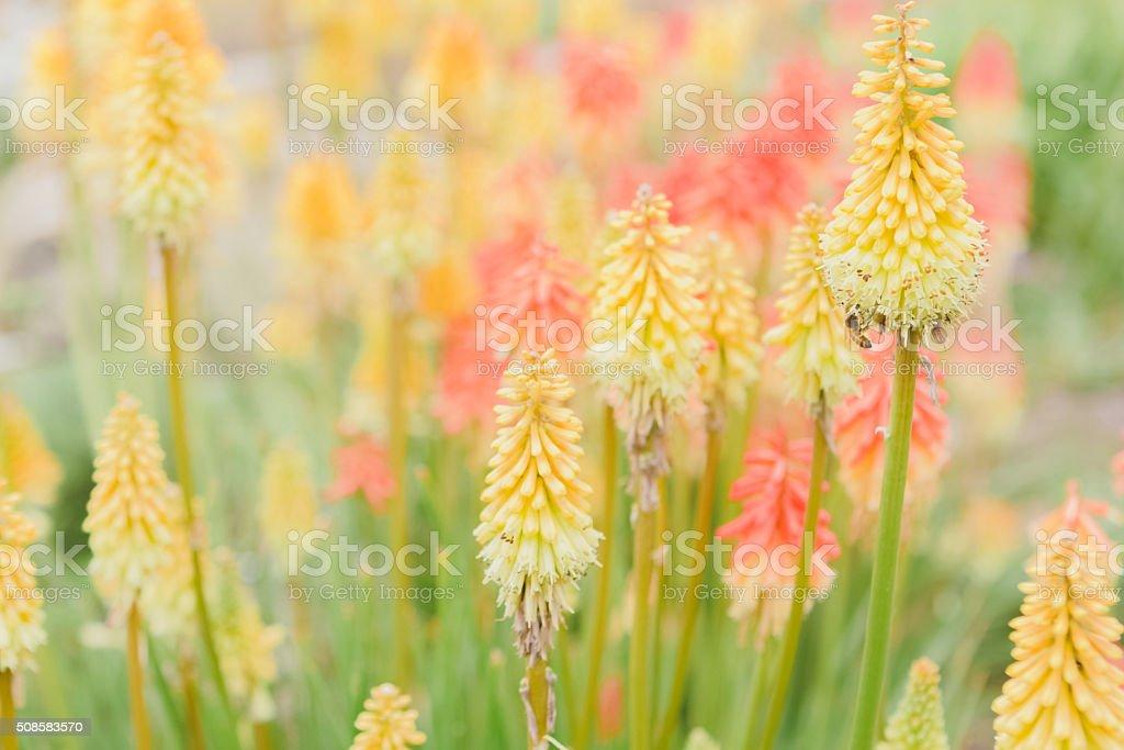 Torch Lily Flower Garden In Summer Sunshine stock photo