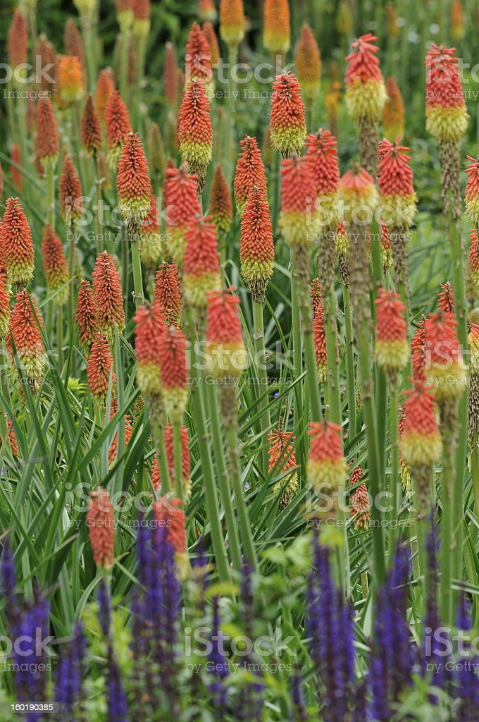Torch Lily stock photo