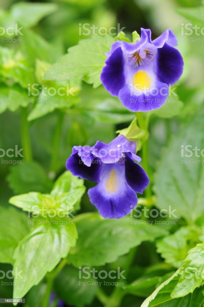 Torenia royalty-free stock photo