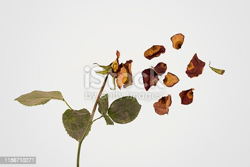 Studio shot of a dried flame-colored rose torn into pieces, with its dried petals flying away.  A wilted rose signifies that a love is over, including self-love, or that some precious is lost. The symbol has been used to symbolise abuse, trauma and mental disorders.