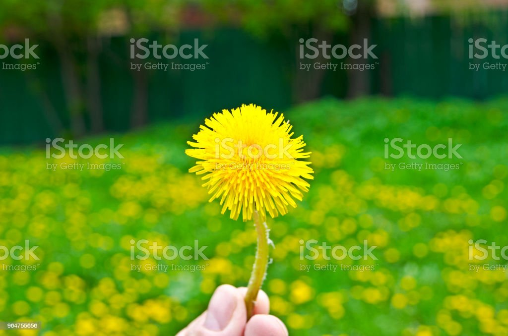 A torn dandelion flower, in the hand. Close-up royalty-free stock photo
