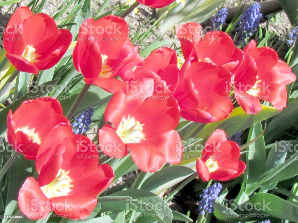 Photo libre de droit de Fleurs De Jardin Tulipe Rouge ...
