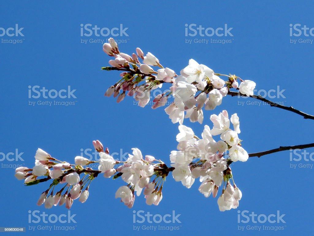 Toronto High Park la rama de flor de cerezo 2018 - Foto de stock de Canadá libre de derechos
