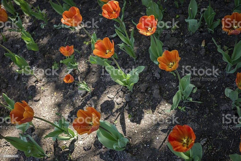 Toronto tulip stock photo