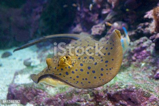 Torpedine macchiata di blu nella barriera corallina (Taeniura lymma)