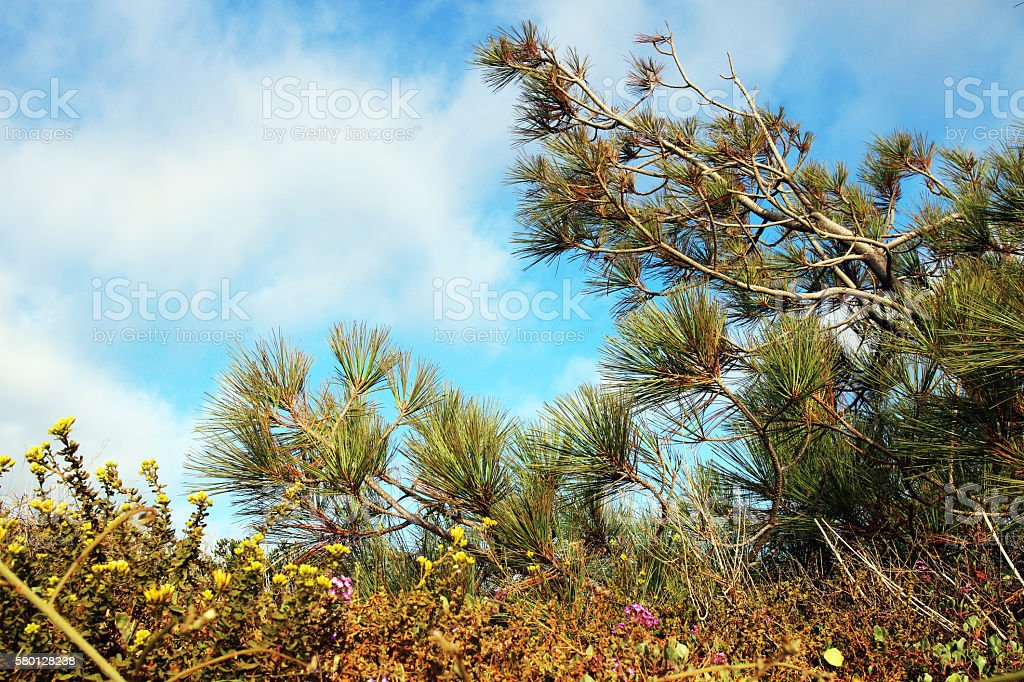 Torrey pine tree stock photo