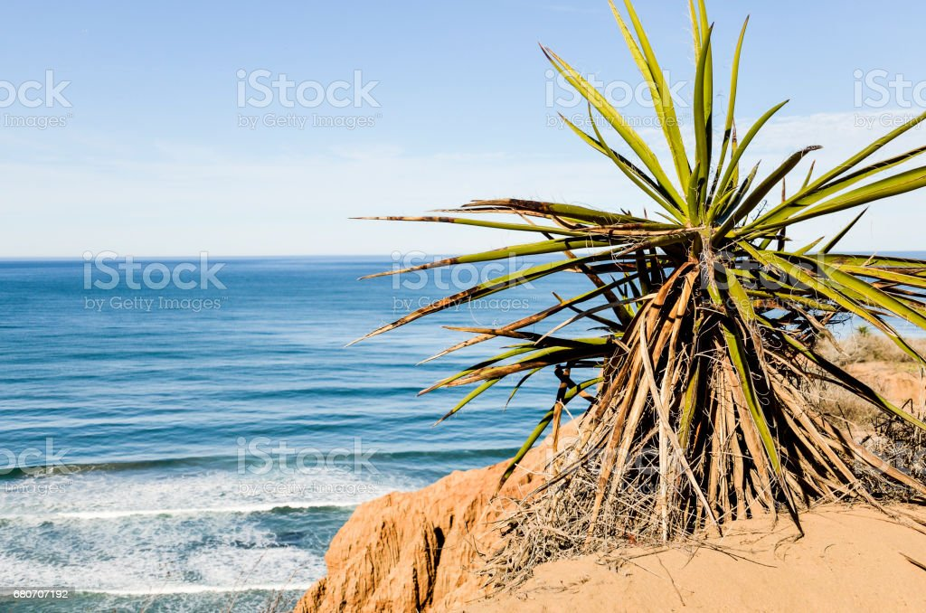 Torrey Pines yucca shrub in pacific ocean in San Diego California with cliff stock photo