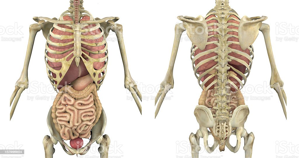 Torso Skeleton With Internal Organs Front And Back Stock Photo