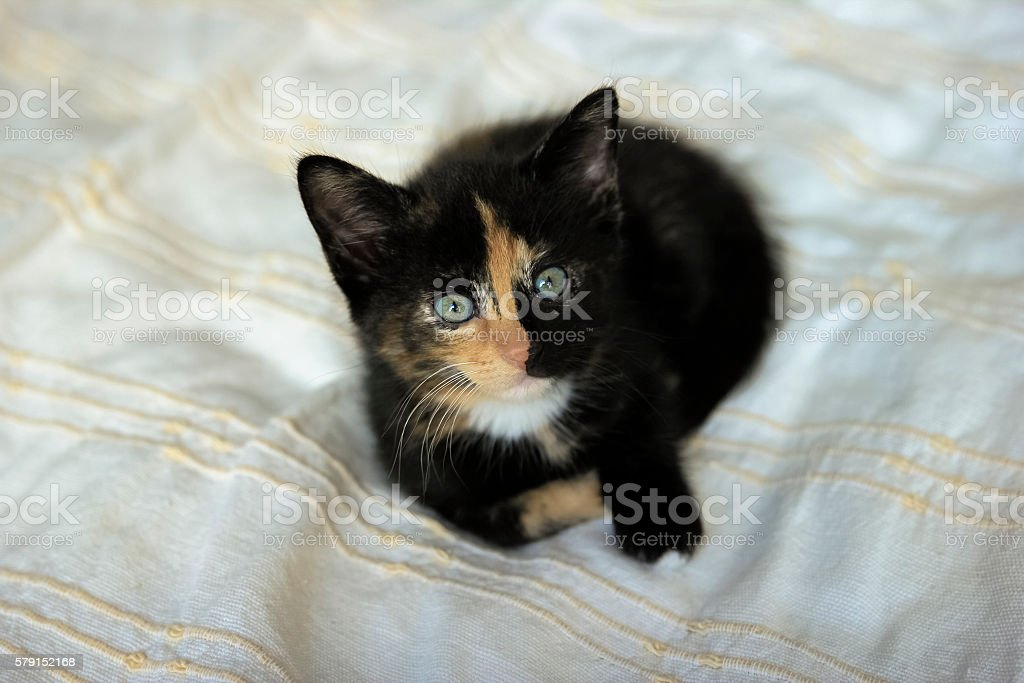 tortie coloring kitten on a beige blanket stock photo