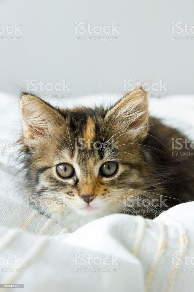 tortie coloring Maine Coon cat on a beige blanket stock photo
