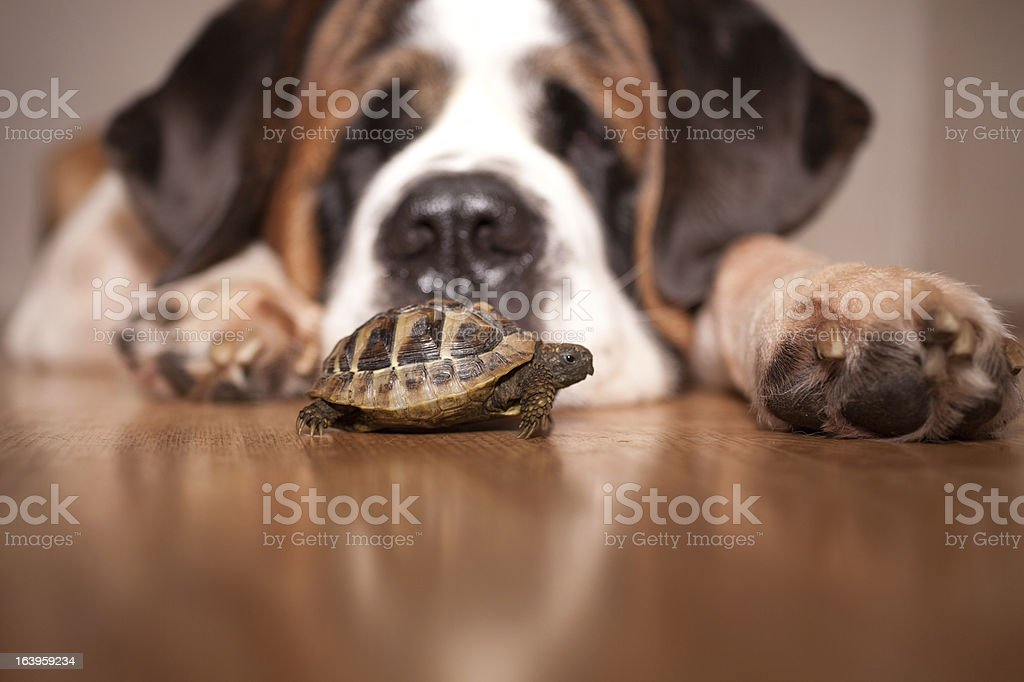 Tortoise and a Saint Bernard stock photo