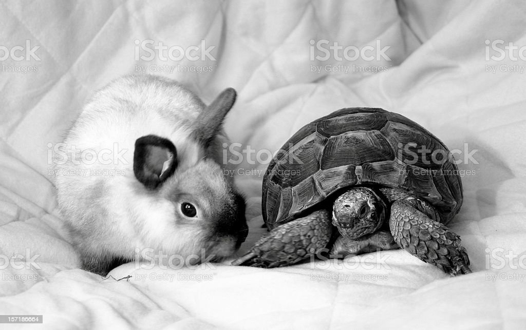 tortoise and rabbit stock photo