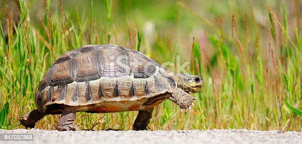 Tortoise angulate reptile walking shell-home dome nature wildlife outdoors safari
