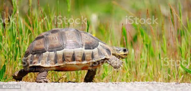 Tortoise angulate reptile walking shellhome dome nature wildlife picture id847032368?b=1&k=6&m=847032368&s=612x612&h=pggman6ur6qpi0f3slpbg7cvjqkt5kcgk1 tyod uyy=