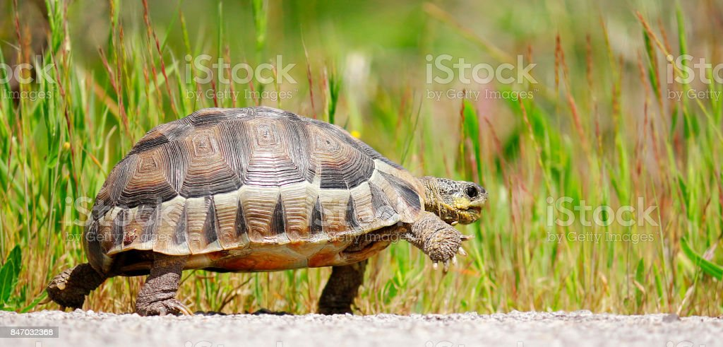 Tortoise angulate reptile walking shell-home dome nature wildlife outdoors safari stock photo
