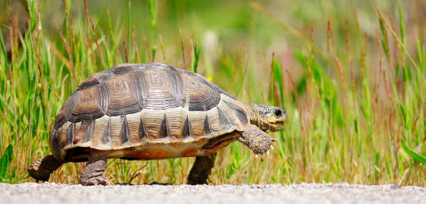 tortoise angulate reptile walking shell-home dome nature wildlife outdoors safari - tartaruga foto e immagini stock