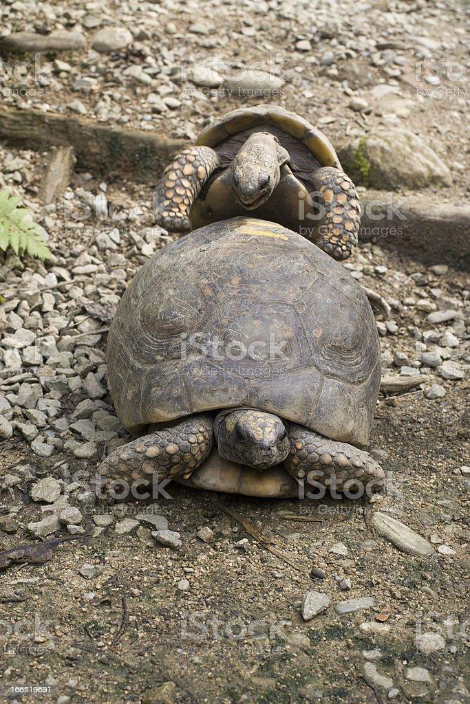 Tortoise Copulating royalty-free stock photo