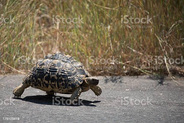 Tortoise crossing the road picture id175123419?b=1&k=6&m=175123419&s=612x612&h=7oqylcj3zi7cz1zazjlwdd0 3lvybjh86403q wiu9k=