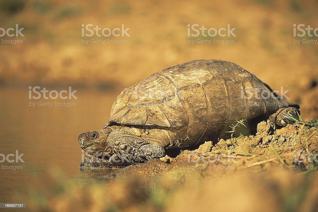 Tortoise drinking at river bank in South Africa stock photo