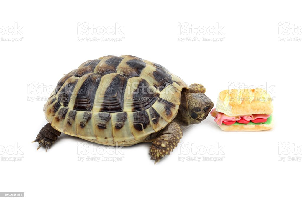 Tortoise eating a burger royalty-free stock photo