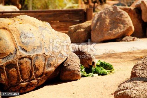 istock Tortoise Eating Turtle Animal 171289469