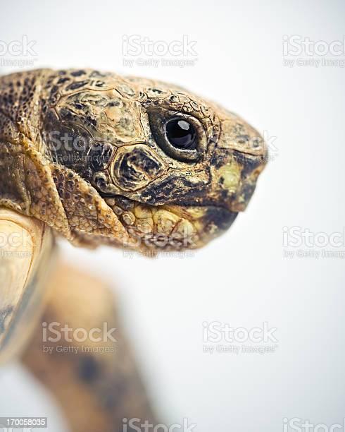Tortoise head picture id170058035?b=1&k=6&m=170058035&s=612x612&h=oytoj1ftxwgznmneoodik7xgsmaiglklsch2 onrlp4=