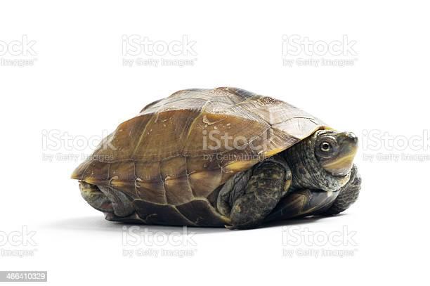 Tortoise hiding in shell picture id466410329?b=1&k=6&m=466410329&s=612x612&h=shzcj0kjrqfvwlcibwwth8l0zg2kk4brtax cunixcw=
