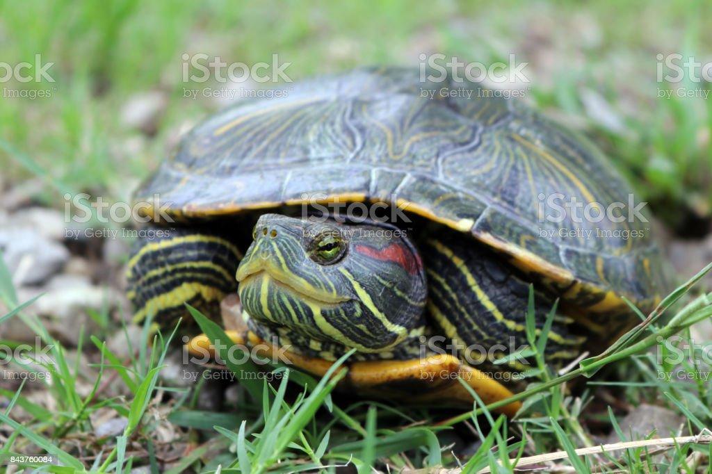 A tortoise in a greenery common carpet grass garden stock photo