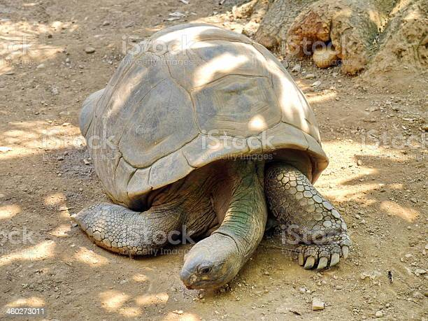 Tortoise in nature picture id460273011?b=1&k=6&m=460273011&s=612x612&h=tmevwpleqavyw5spk7hwvuhedhngensznpa1clwrxoe=