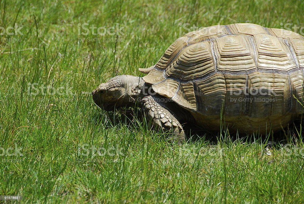 Tortoise in the grass on sunny day stock photo
