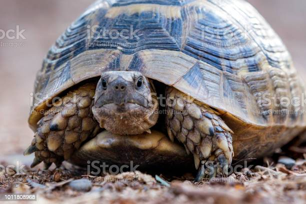 Tortoise is looking at the camera picture id1011808968?b=1&k=6&m=1011808968&s=612x612&h=wcumohaotbczm2jzcurwbkp3gn04oqt4altia1y68s0=