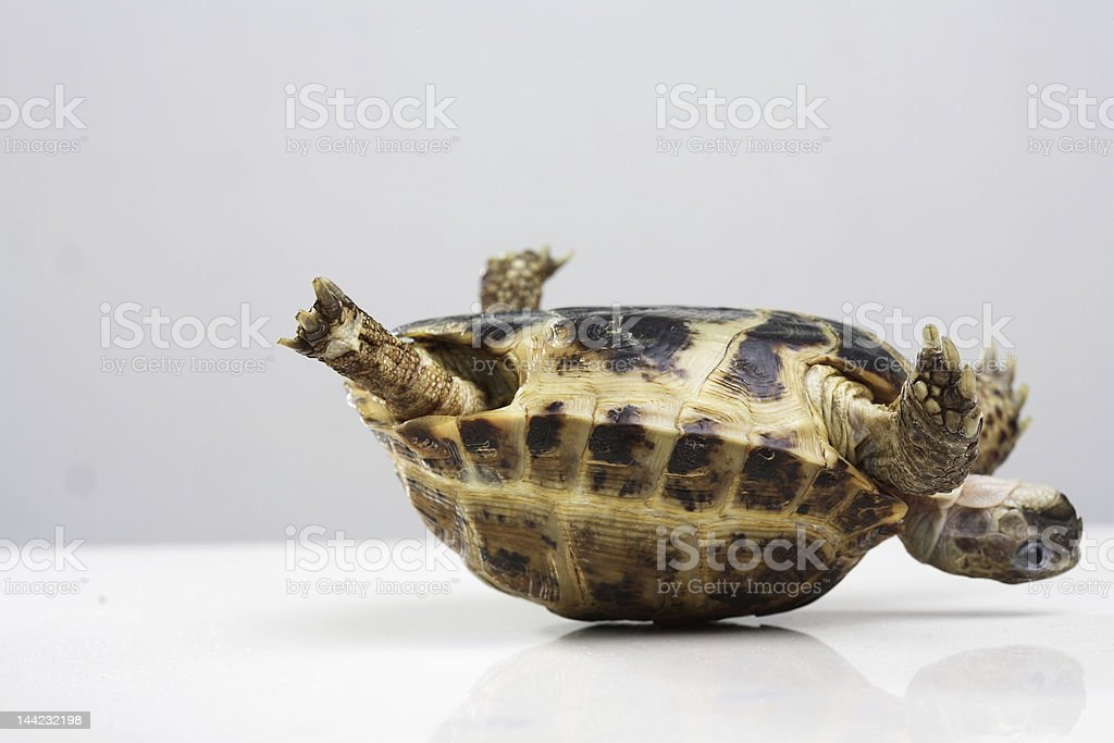 A tortoise is upside down in need of help stock photo