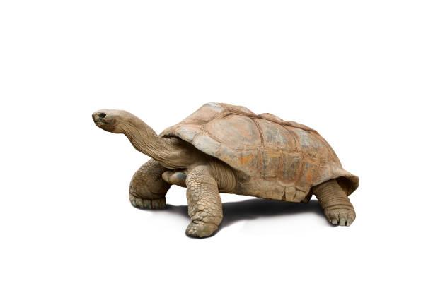 Tortoise isolated against white stock photo