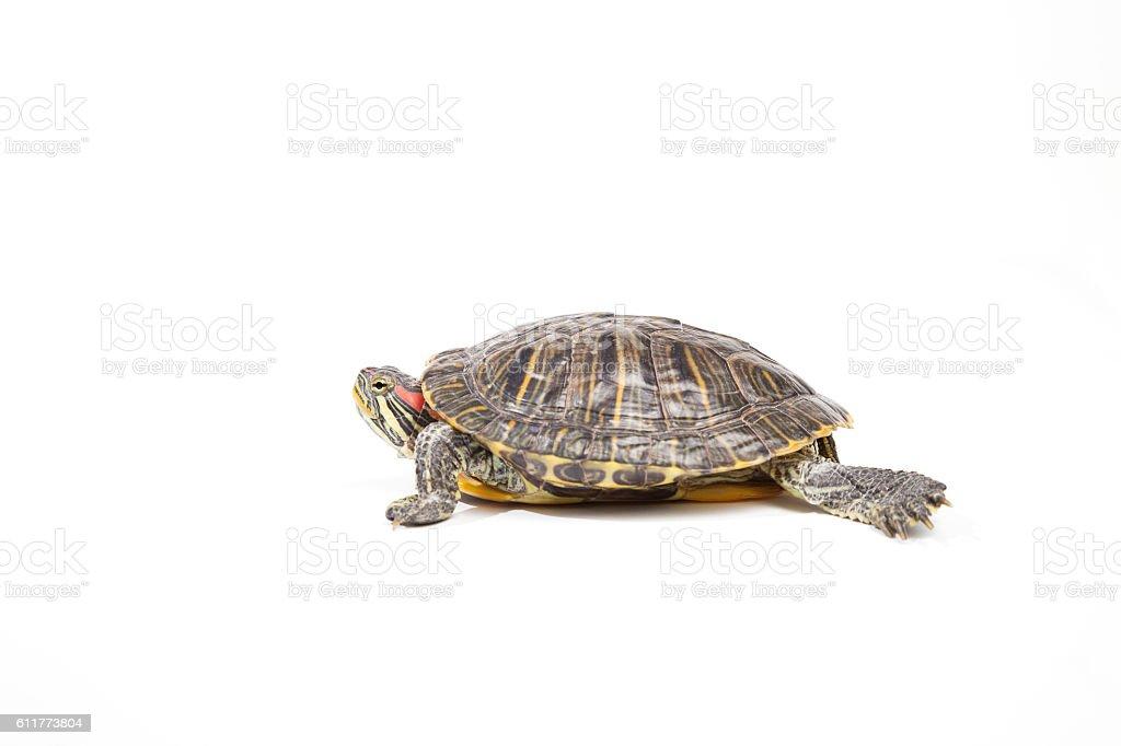 tortoise, isolated on white background stock photo
