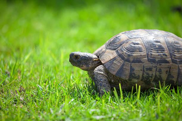Tortoise on green grass stock photo
