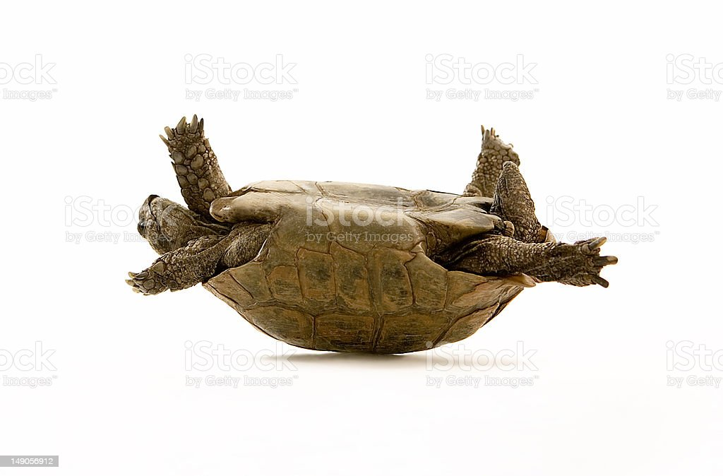 Tortoise on its back with legs in the air stock photo