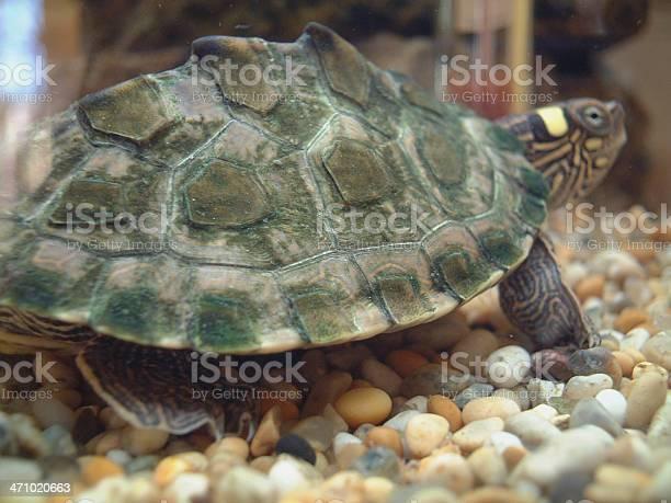 Tortoise on pebbles picture id471020663?b=1&k=6&m=471020663&s=612x612&h=t 5siyqqkjhbdcff9ssmh0uxww7 ltzew18zu7fkwvu=