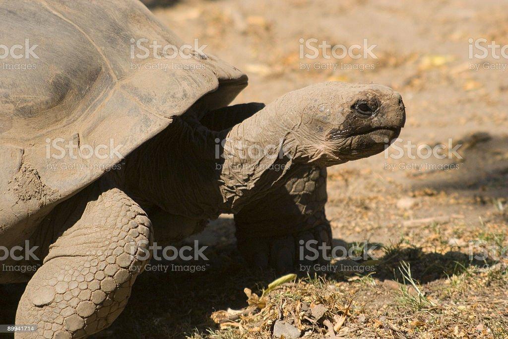 tortoise on the move stock photo