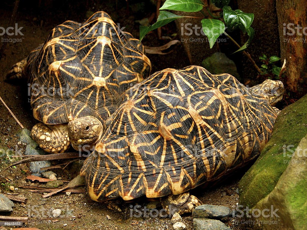 Tortoise Pair royalty-free stock photo