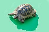 Tortoise on green background