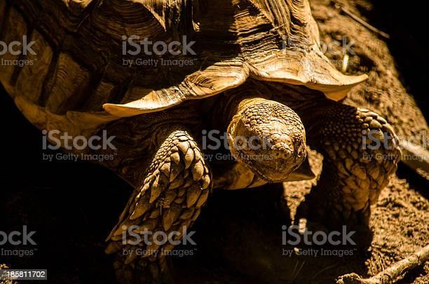 Tortoise picture id185811702?b=1&k=6&m=185811702&s=612x612&h=v4tuv3awt7bthew4 1u31ksvockhzi45fy oyx nwoi=