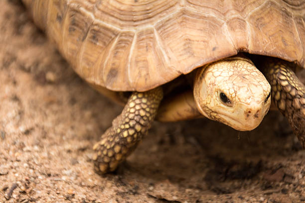 landschildkröte - babyschildkröten stock-fotos und bilder