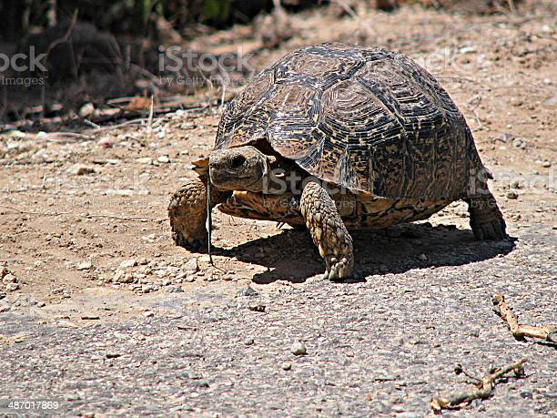 Tortoise picture id487017869?b=1&k=6&m=487017869&s=612x612&h=vzgb581betcitffpuwz8glrdgjijugc53z5rlumzyyu=