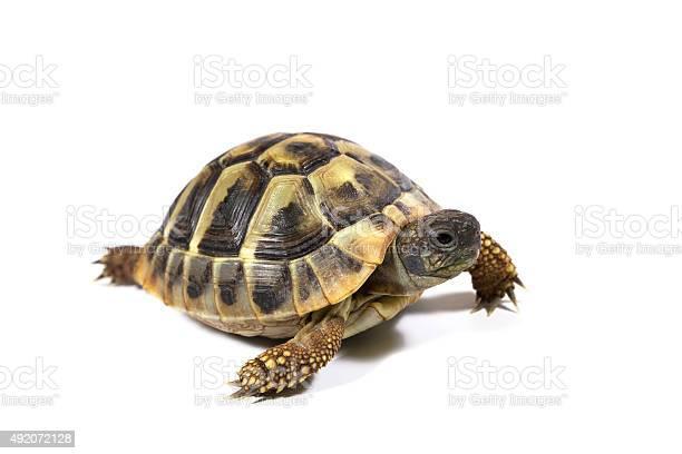 Tortoise picture id492072128?b=1&k=6&m=492072128&s=612x612&h=qjvcdizmg vhabr2yt6hfdbow7nojmdcmwincqxjao0=