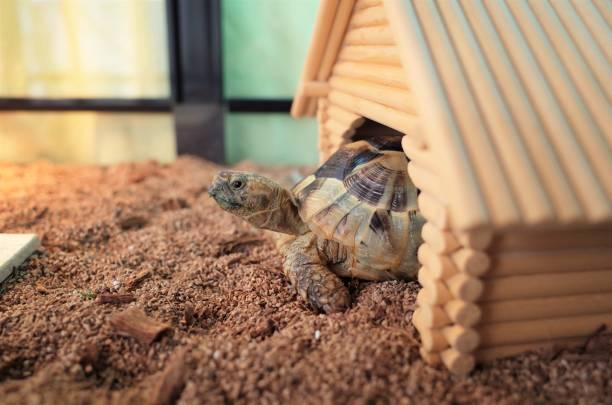 토터스 - 파충류 뉴스 사진 이미지